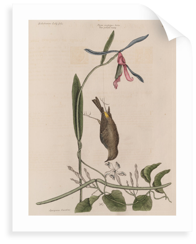 The 'yellow-rump', the 'lilly-leaf'd hellebore' and the 'dogs-bane' by Mark Catesby