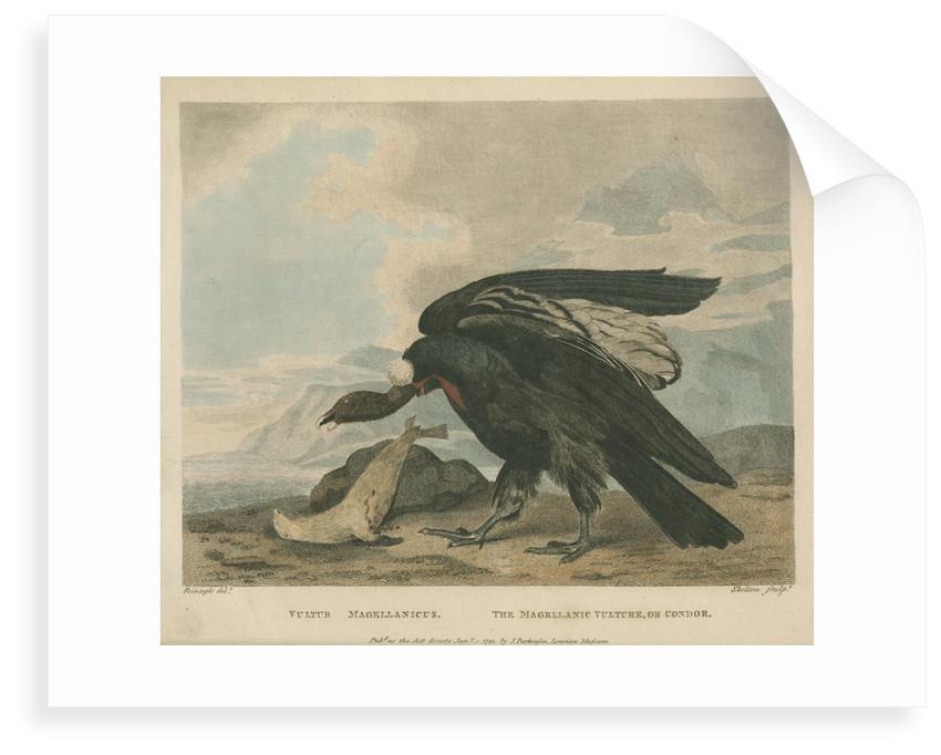 'The Magellanic Vulture, or Condor' by William Skelton