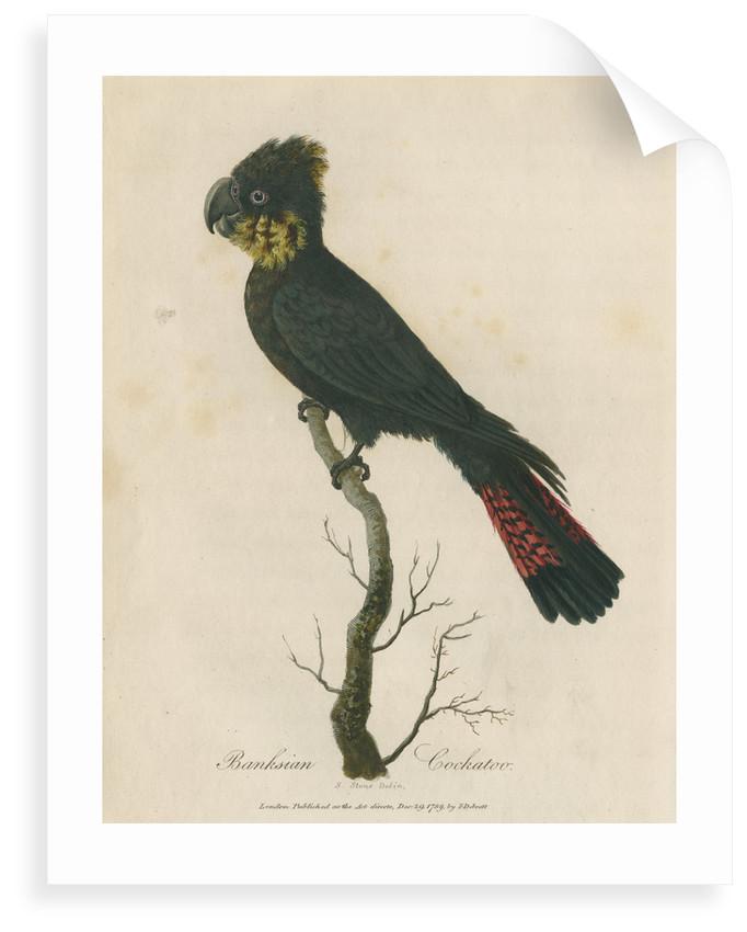 'Banksian Cockatoo' by Sarah Stone