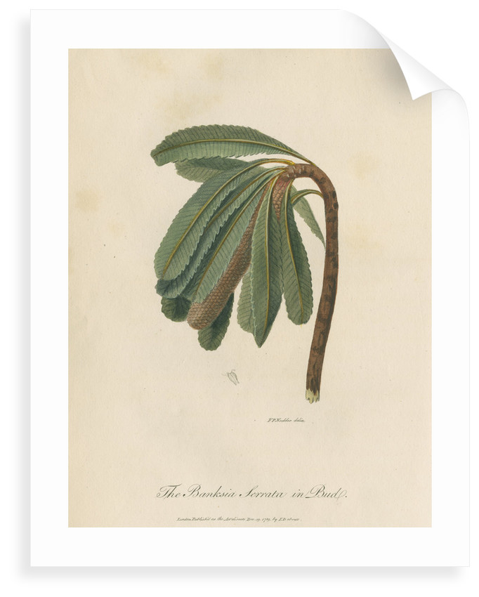 'The Banksia Serrata in Bud' by Frederick Polydor Nodder