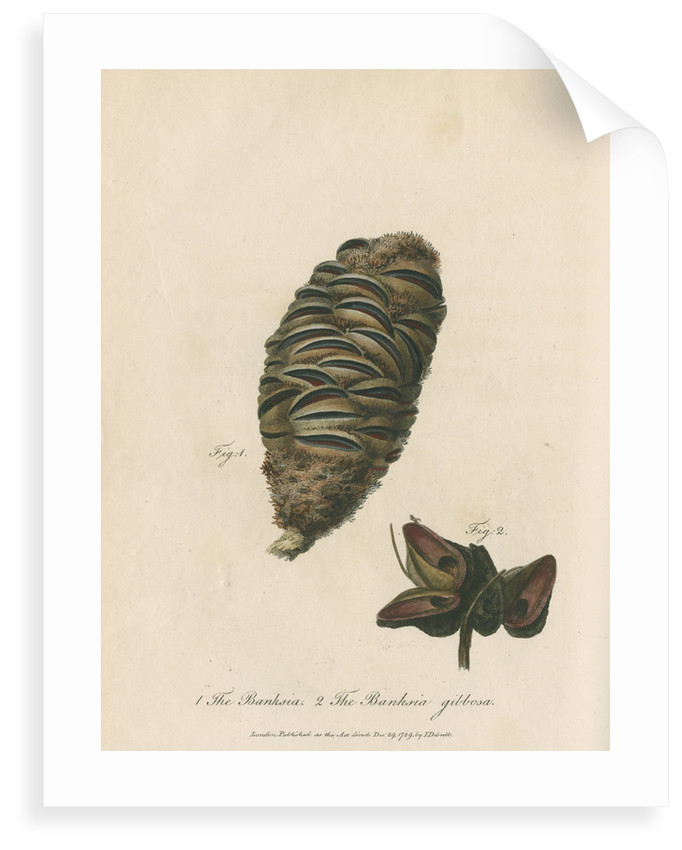 'The Banksia' and 'Banksia gibbosa' by Frederick Polydor Nodder