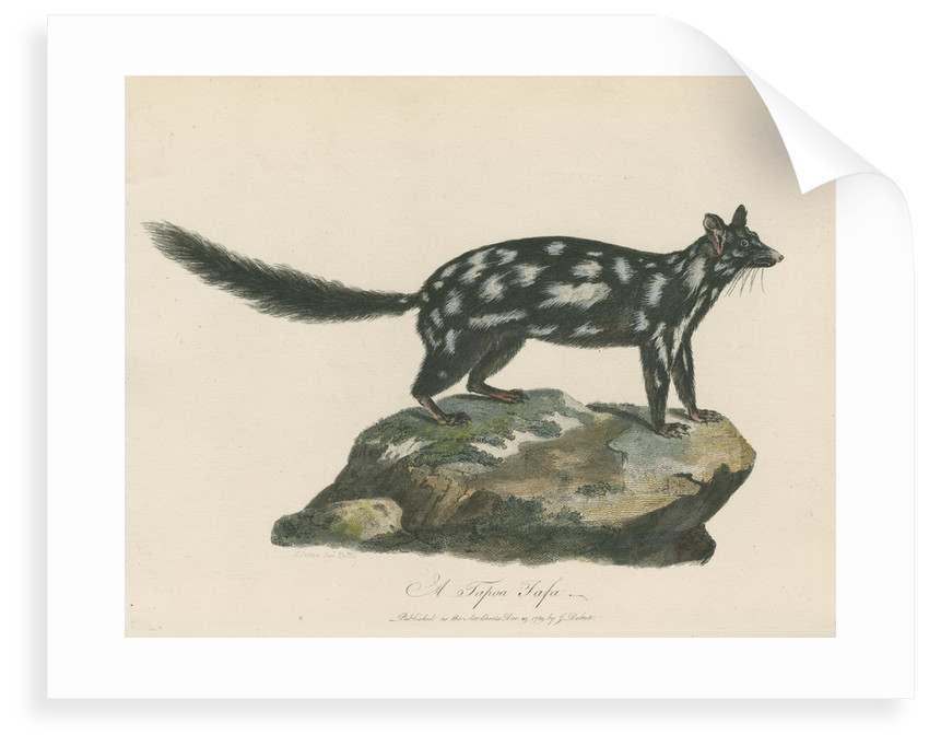 'A Tapoa Tafa' [Eastern quoll] by Charles Catton the younger