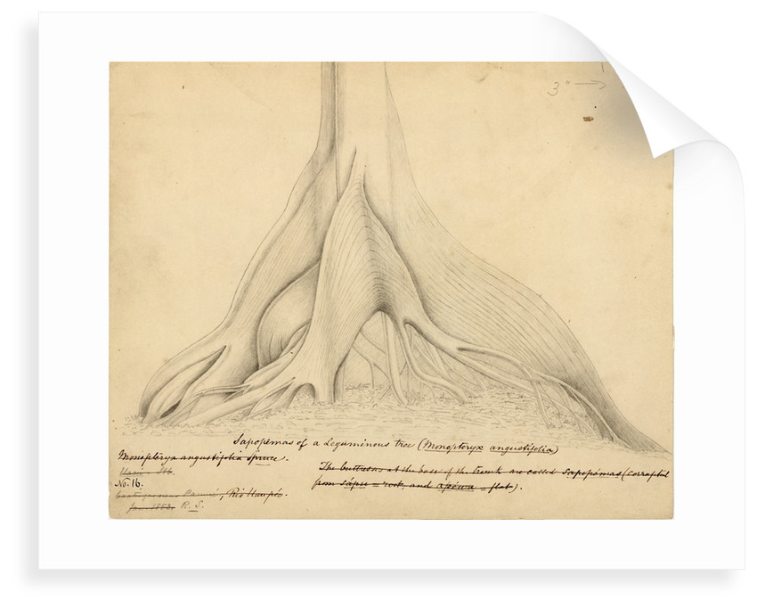 Buttresses of a Leguminous tree by Richard Spruce