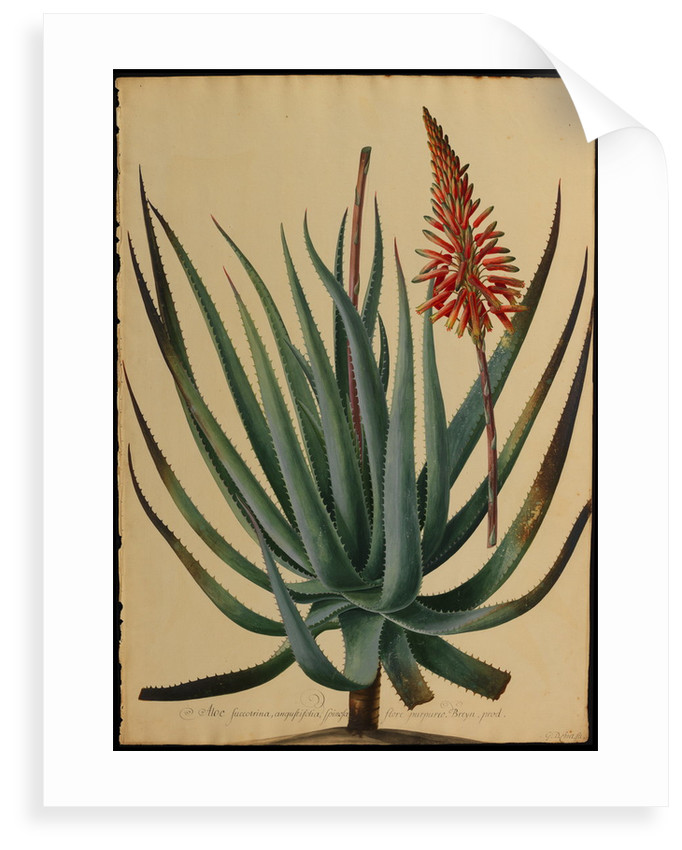 Aloe succotrina by Jacob van Huysum