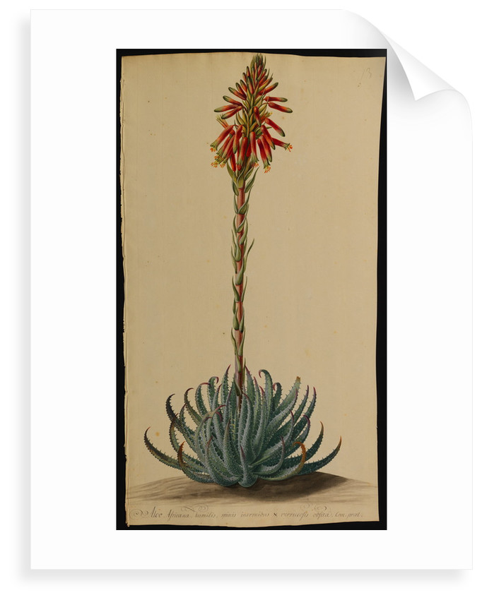 Aloe africana by Jacob van Huysum and George Dionysius Ehret