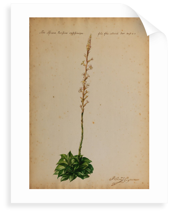 Aloe africana by Georg Dionysius Ehret