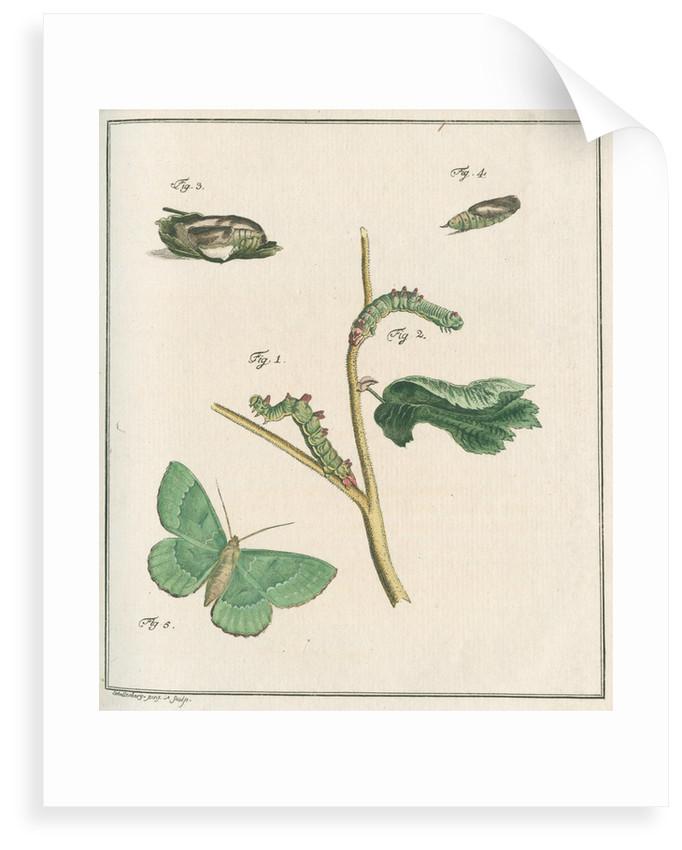Large emerald moth by Johann Rudolf Schellenbur