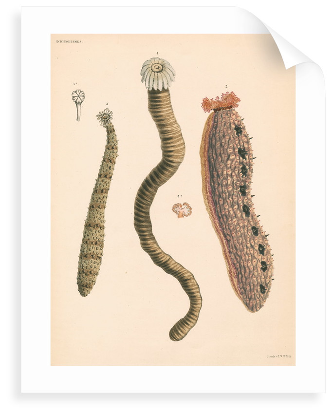 Sea cucumbers by unknown