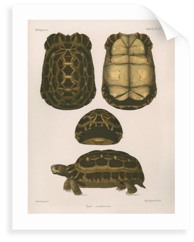 Spider tortoise by Étienne Alexandre Arnould Locard