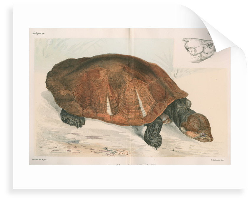 Madagascan big-headed turtle by Louis Léchaudel