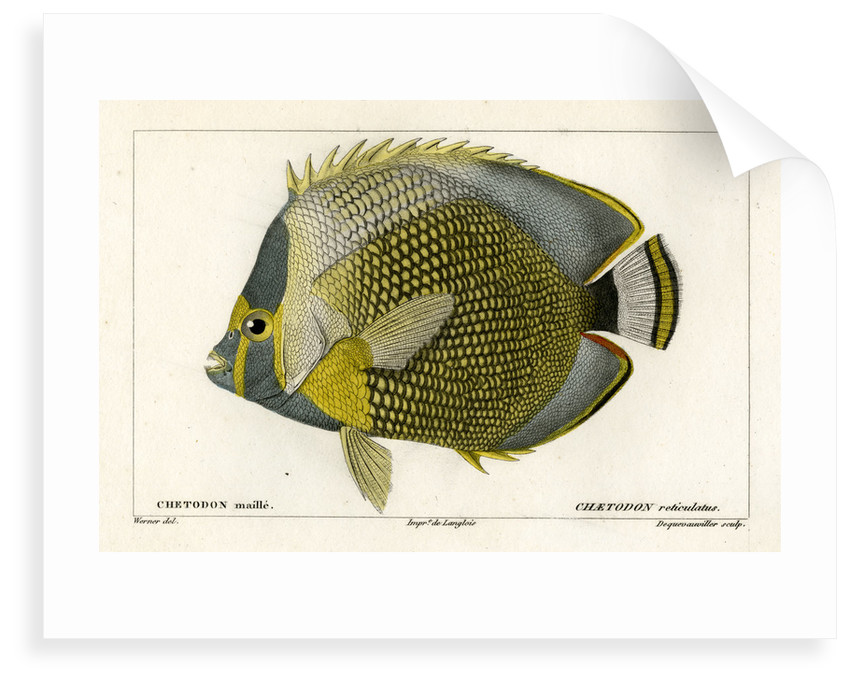 Mailed butterflyfish by François Jacques Dequevauviller