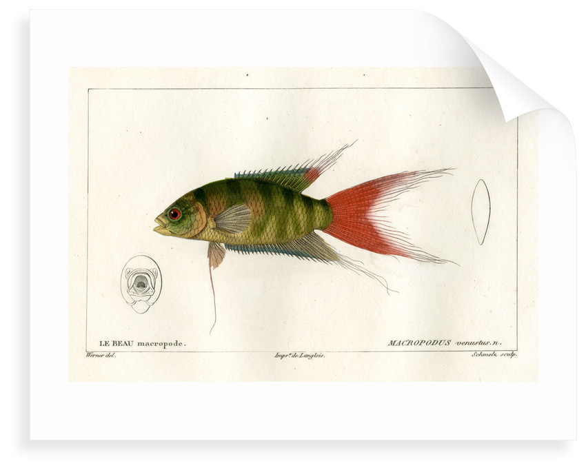 Paradise fish by Martin Schmeltz