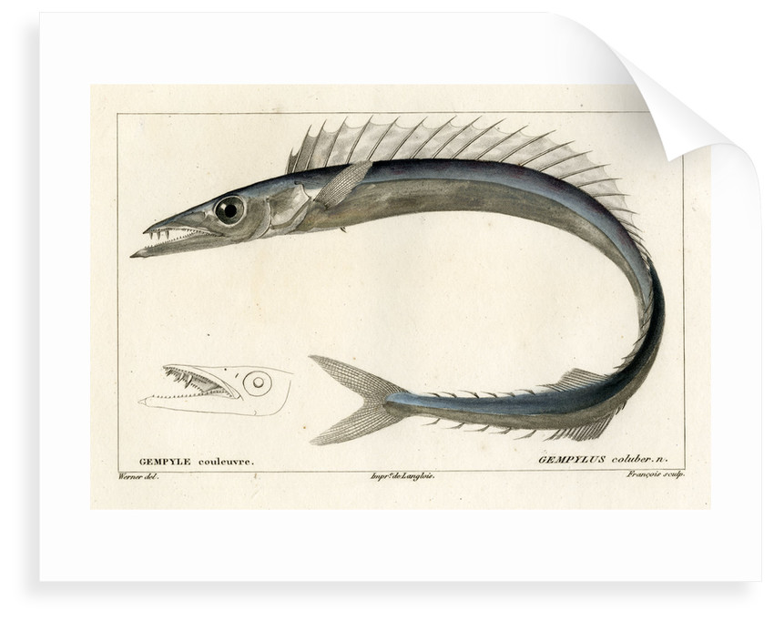 Snake mackerel by François