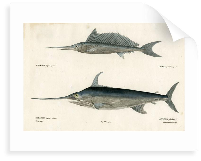 Swordfish by François Jacques Dequevauviller