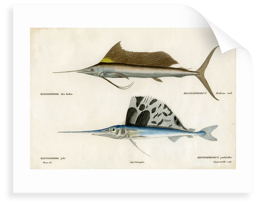 Sailfishes by François