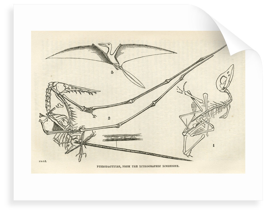 'Pterodactyls' by unknown