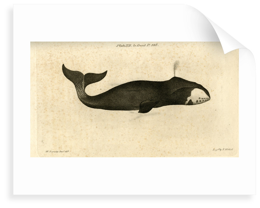 Bowhead whale by Edward Mitchell