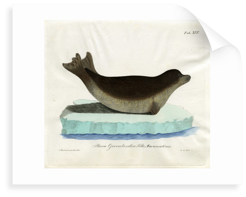 Harp seal by Friedrich Eduard Müller
