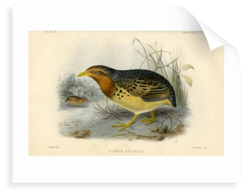 Red-backed button quail by Joseph Smit