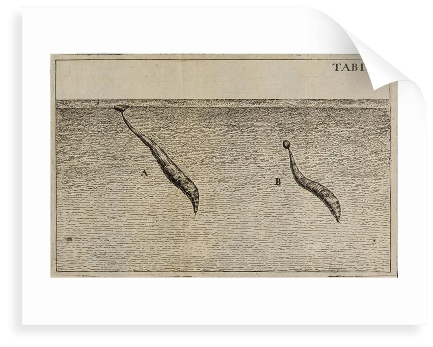 'Water worms' by Jan Swammerdam