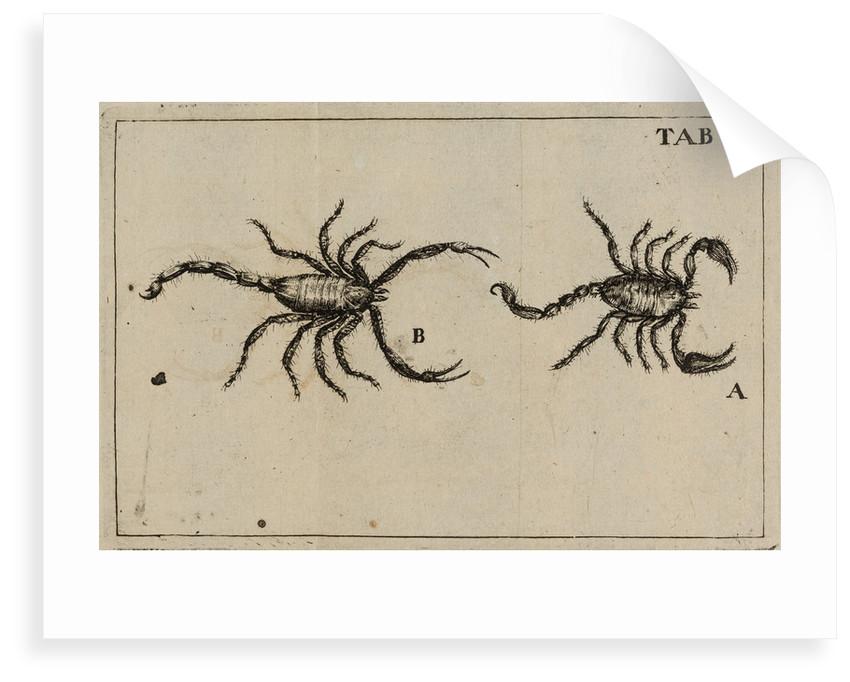 Scorpions by Jan Swammerdam
