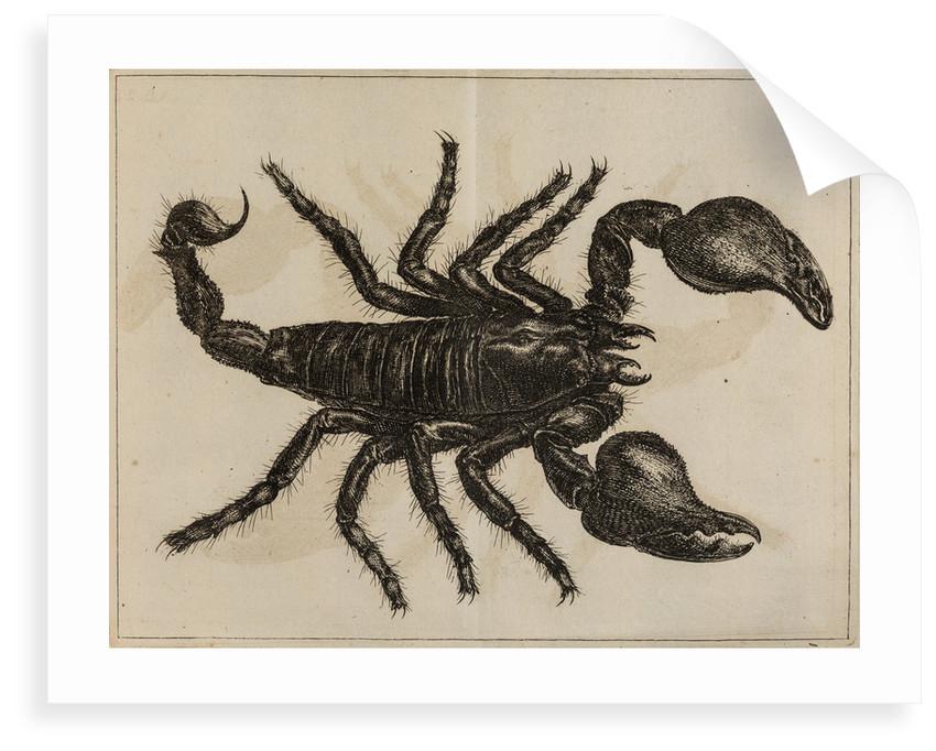 Scorpion by Jan Swammerdam