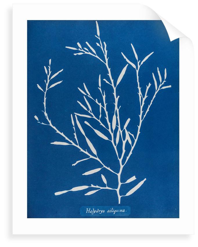 Sea oak by Anna Atkins