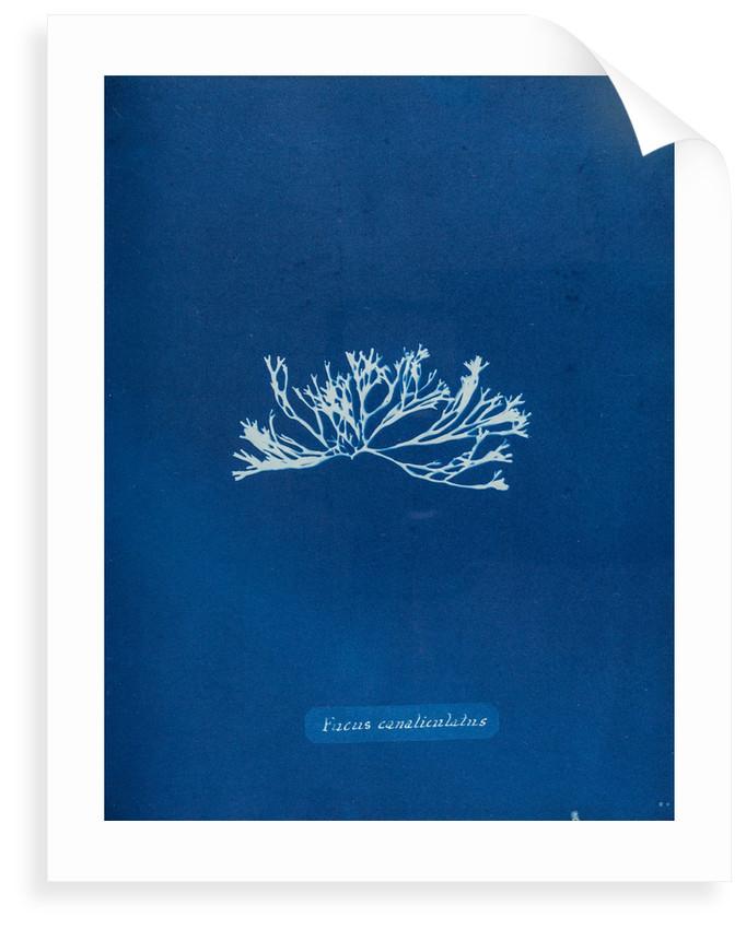 Fucus canaliculatus by Anna Atkins