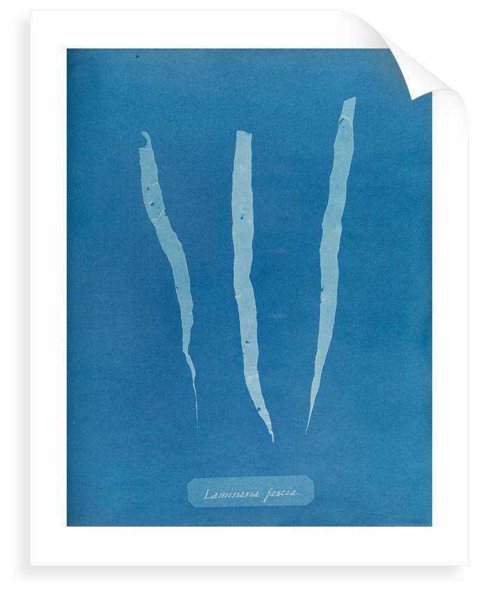 Laminaria fascia by Anna Atkins