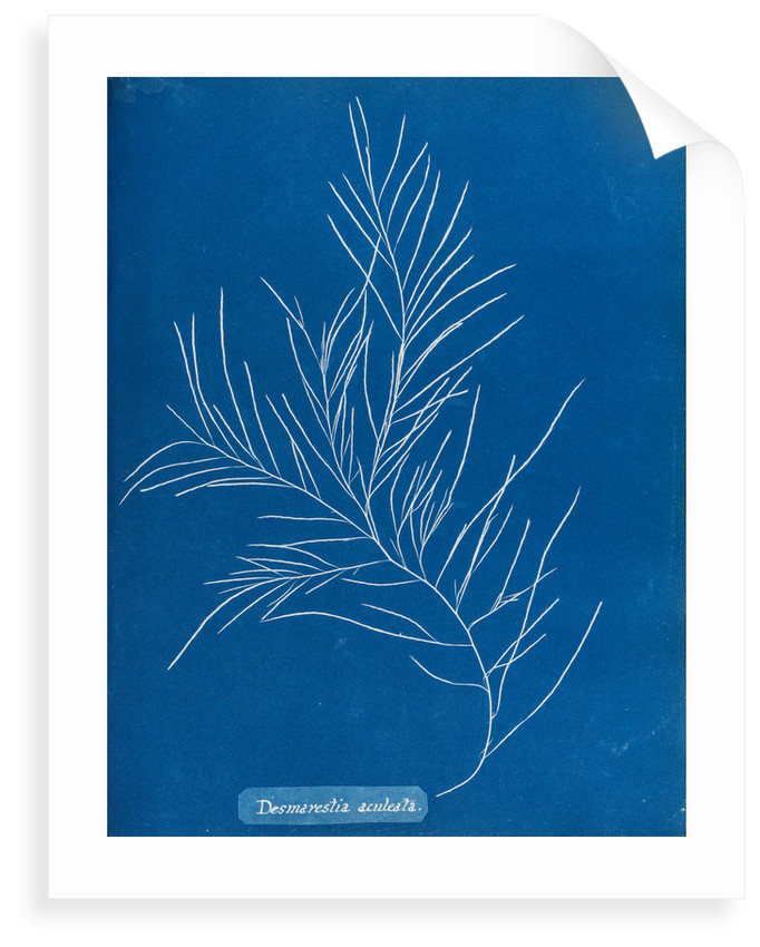 Sea sorrel by Anna Atkins