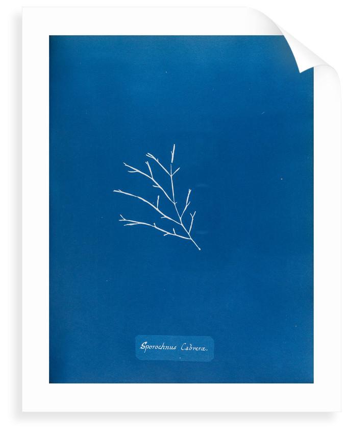 Sporochnus cabrera by Anna Atkins