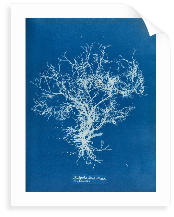 Dictyota dichotoma by Anna Atkins