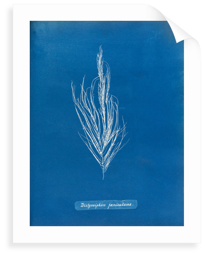 Dictyosiphon faniculacca by Anna Atkins