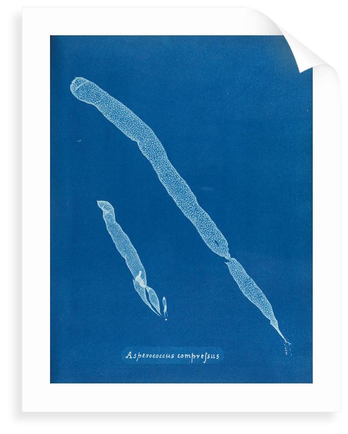 Asperoccus compressus by Anna Atkins