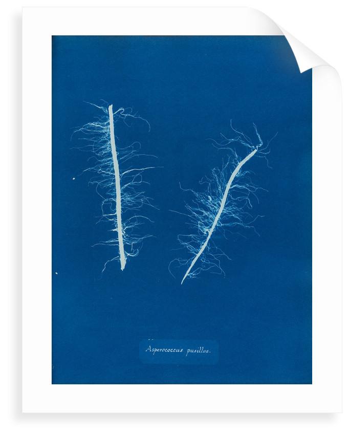 Litosiphon pusillus by Anna Atkins