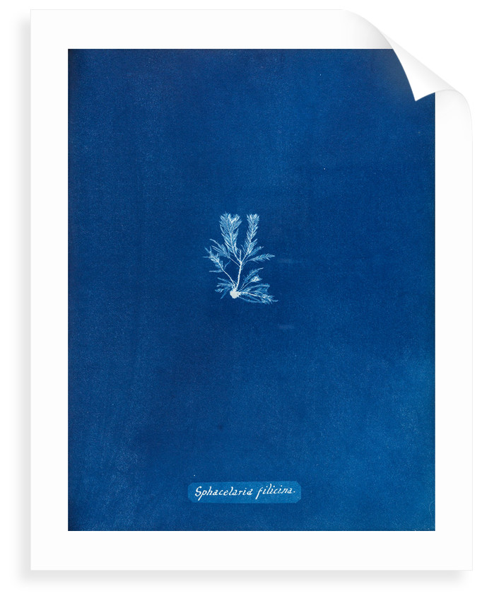 Sphacelaria filicina by Anna Atkins