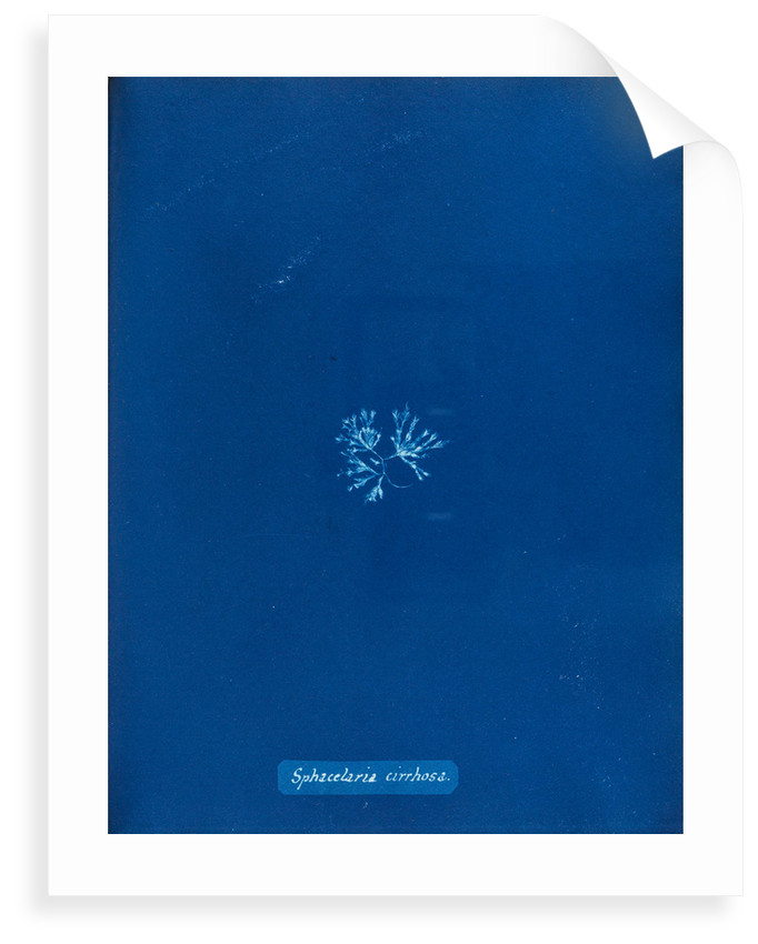 Sphaccelaria cirrhosa by Anna Atkins