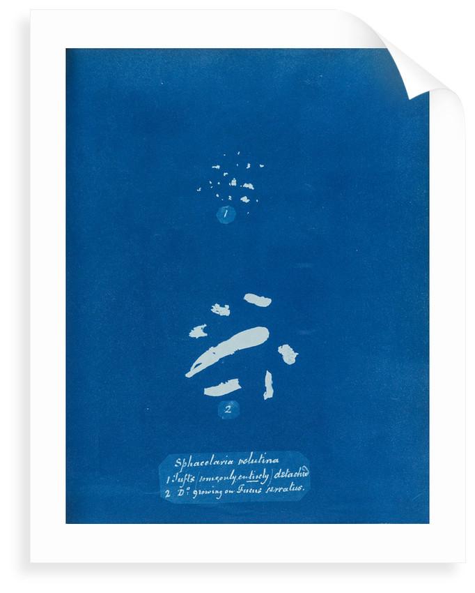 Sphacelaria velutina by Anna Atkins