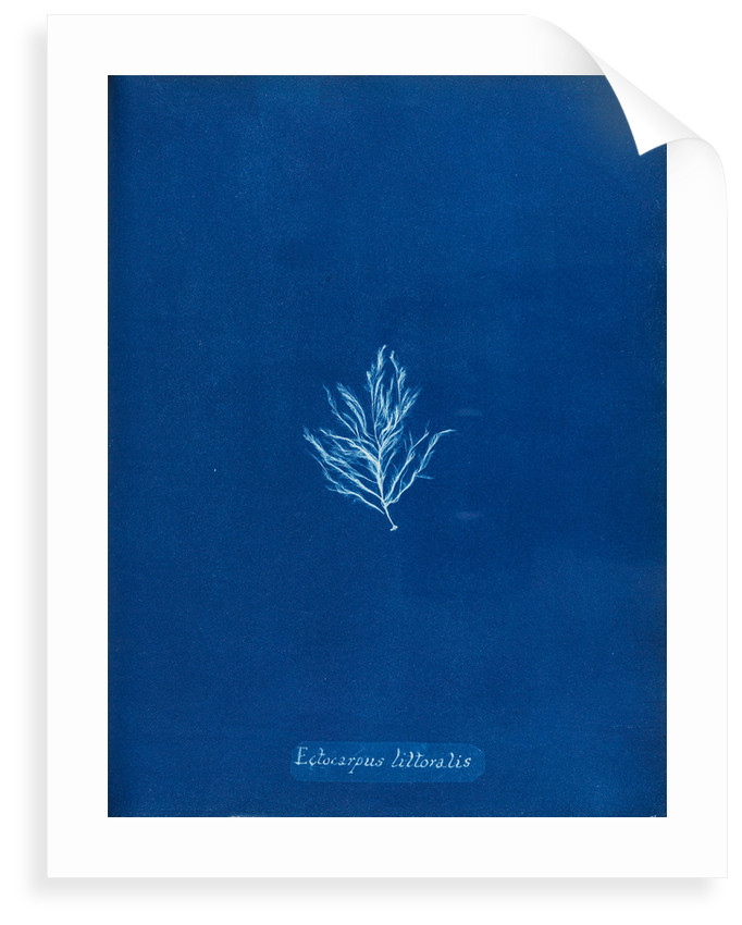 Ectocarpus littoralis by Anna Atkins
