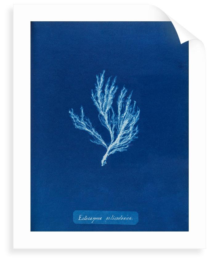 Ectocarpus siliculosus by Anna Atkins