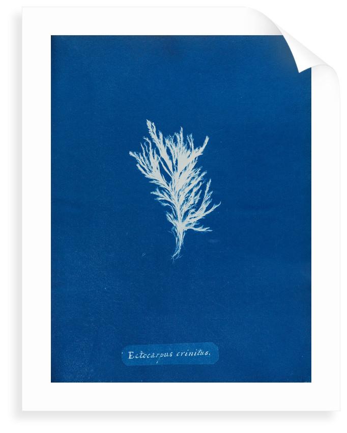 Ectocarpus crinitus by Anna Atkins