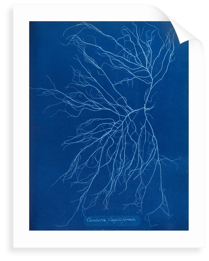 Slimy whip weed by Anna Atkins