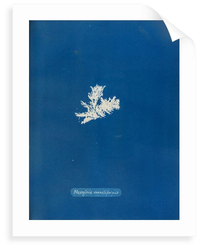 Mesogloia moniliformis by Anna Atkins