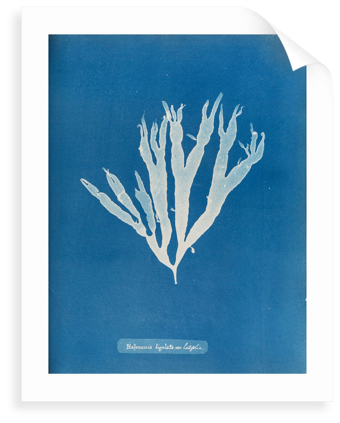 Sea spider weed by Anna Atkins
