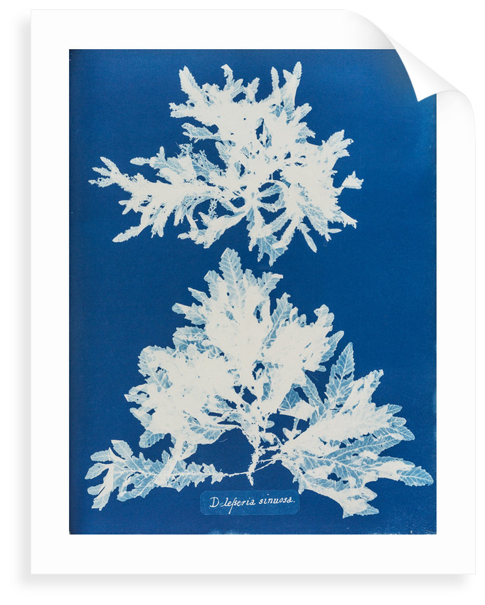 Delesseria sinuosa by Anna Atkins