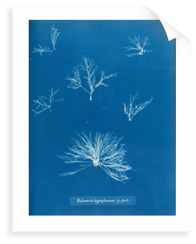 Delesseria hypoglossum in fruit by Anna Atkins