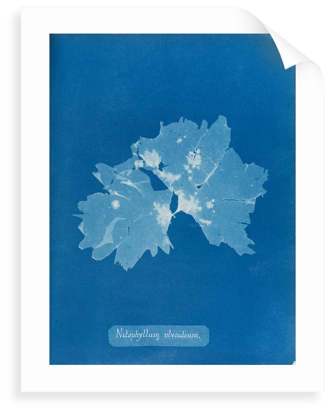 Nitophyllum ulvoideum by Anna Atkins