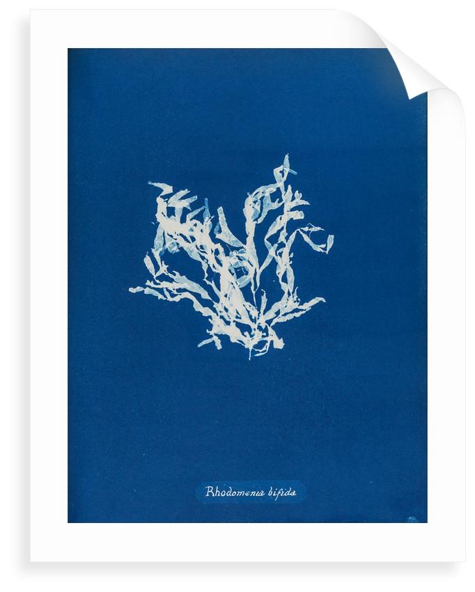 Rhodomenia bifida by Anna Atkins