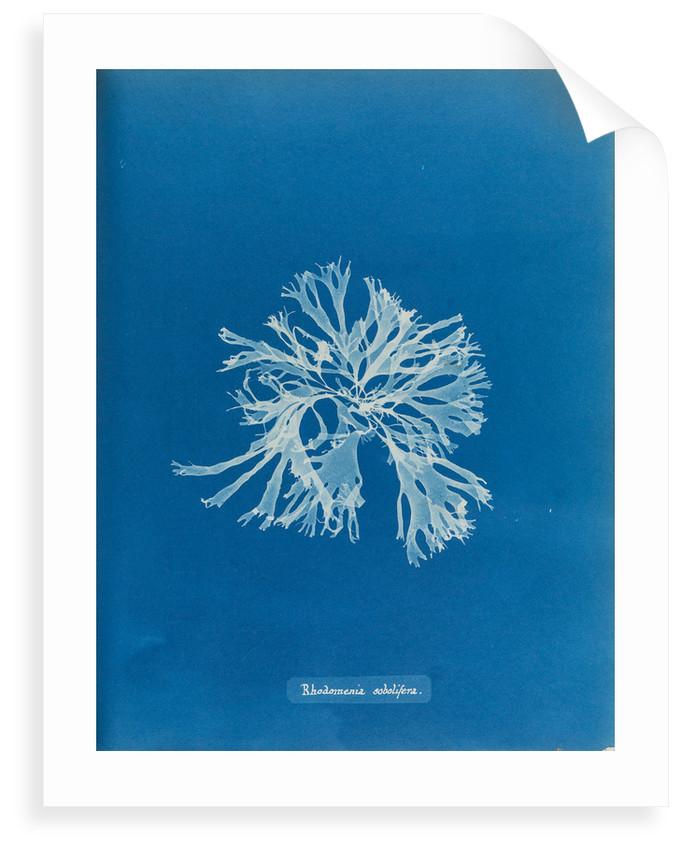 Rhodymenia sobolifera by Anna Atkins