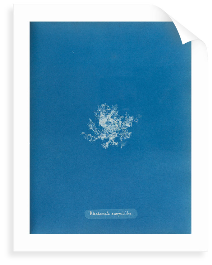 Rhodomela scorpoidies by Anna Atkins